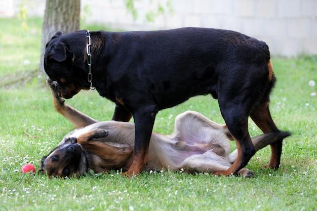 Malinois y rottweiler