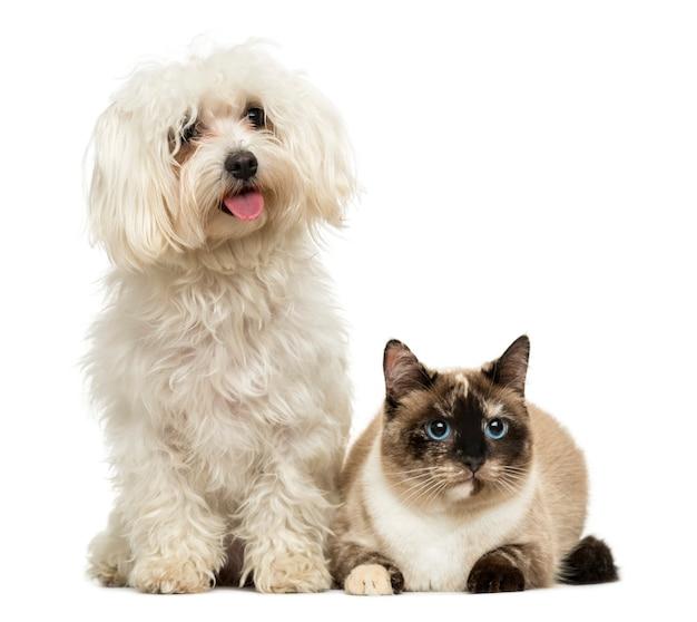 Maltés jadeo y gato birmano aislado en blanco