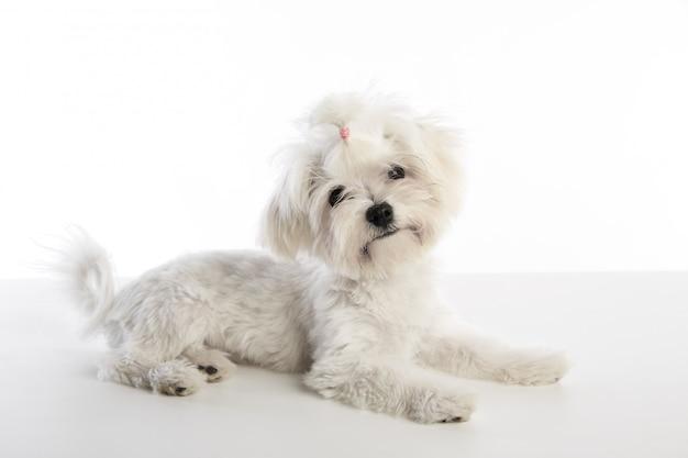 Maltichon cachorro bichon maltés en blanco