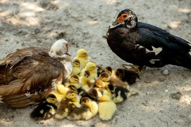 Mamá pato con sus patitos. hay muchos patitos siguiendo a la madre.