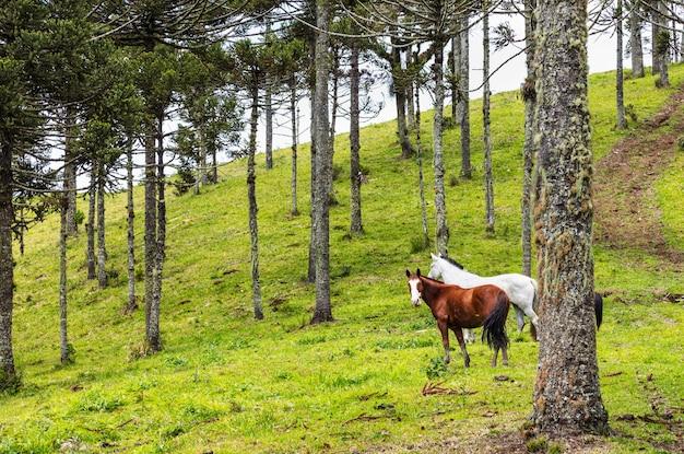 Manada de caballos que pastan en los pastos cerca de pinos araucaria
