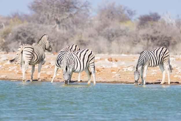 Manada de cebras bebiendo del abrevadero en el monte. wildlife safari en el parque nacional de etosha, destino de viaje en namibia