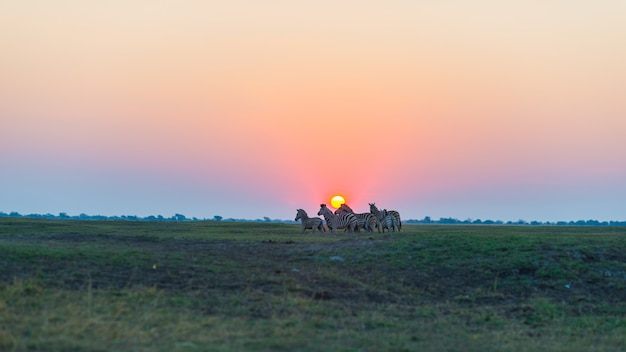 Manada de cebras caminando en el monte a contraluz al atardecer. escénica luz del sol colorida en el horizonte. wildlife safari en los parques nacionales africanos y reservas de vida silvestre.
