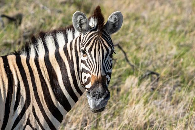 Manada de cebras comiendo campo de vidrio en el parque nacional de etosha, namibia