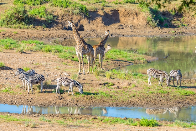 Manada de cebras, jirafas y antílopes pastando en la orilla del río shingwedzi en el parque nacional kruger