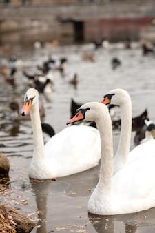 Una manada de cisnes y patos en un lago en un parque de la ciudad.