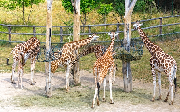 Manada de jirafas cerca de la caja de alimentación.