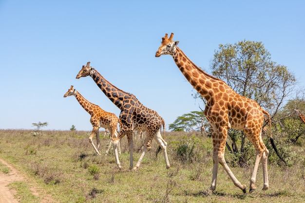 Manada de jirafas en la sabana