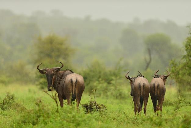 Manada de ñus alejándose en los campos cubiertos de hierba en la selva