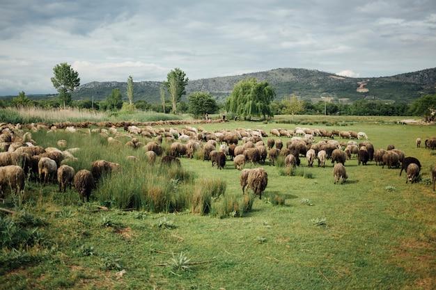 Manada de tiro largo de ovejas comiendo hierba en pasto