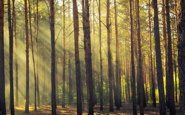 Mañana en el bosque de pinos. los rayos del sol atraviesan la niebla.