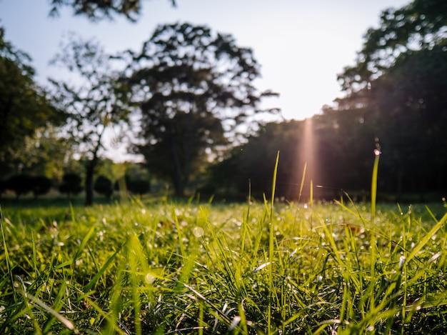 Mañana hierba en el parque con rayos de sol detrás