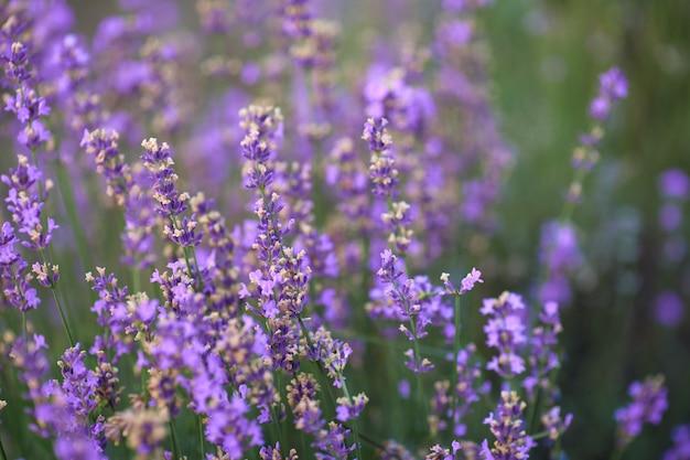 Manchas de color púrpura en el campo floreciente de lavanda