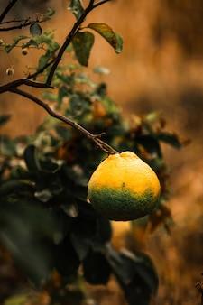 Mandarina amarilla de crecimiento lento colgando de sus ramas
