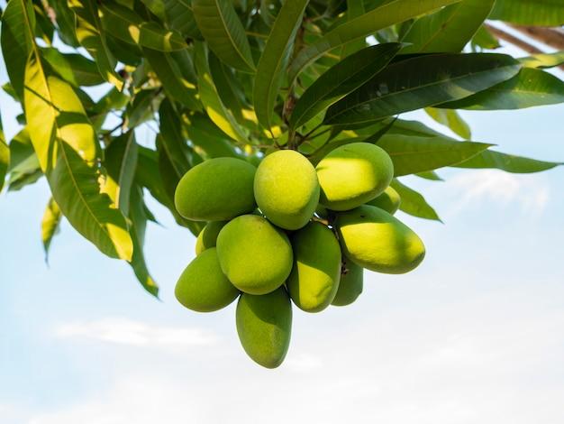 El mango es el fruto de la economía de tailandia