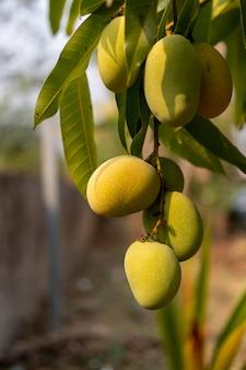 Mangos verdes salvajes crudos que cuelgan en la rama, primer