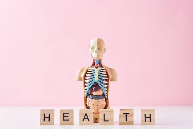 Maniquí de anatomía humana con órganos internos y la palabra salud sobre un fondo rosa. concepto de salud médica