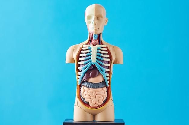 Maniquí de anatomía humana con órganos internos sobre un fondo azul.