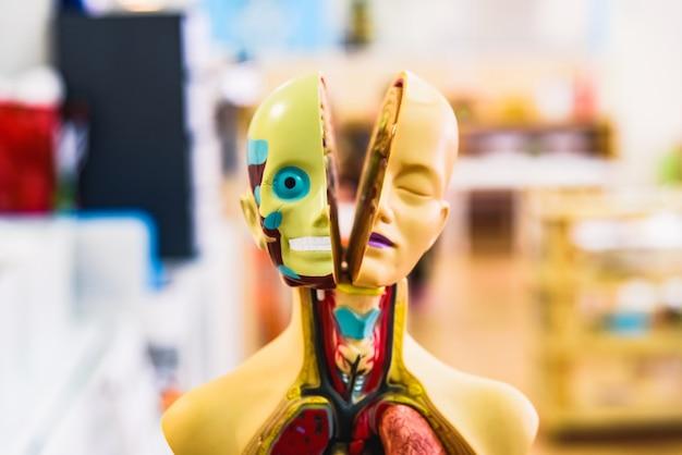 Maniquí con el interior del cuerpo humano a la vista, en una escuela para que los niños aprendan anatomía.