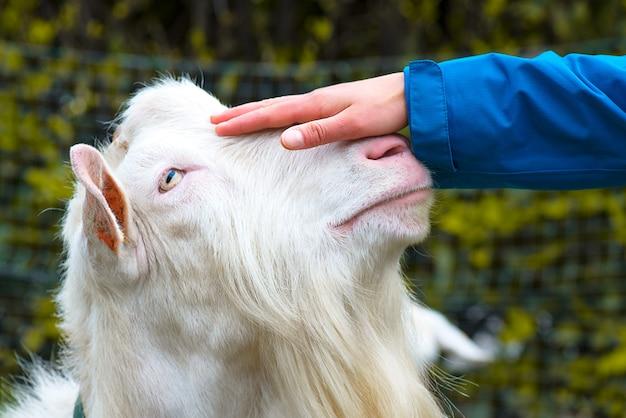 Mano acariciando la cabeza de una cabra