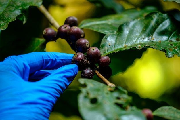 La mano del agricultor con guantes azules verifica hongos en los granos de café crudo