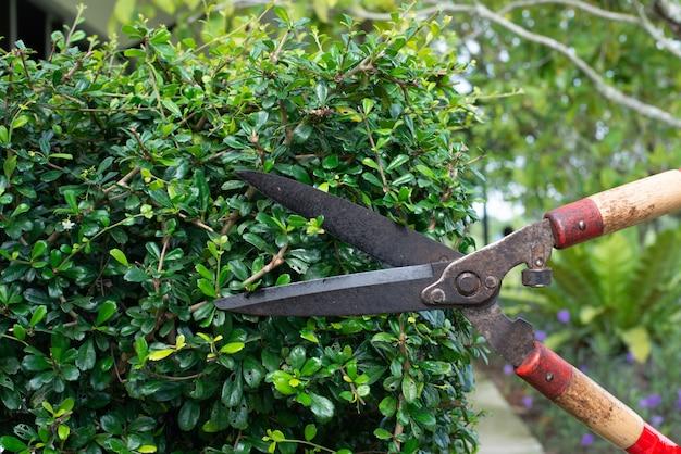 Mano en cortar el arbusto