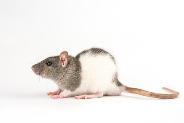 Mano decorativa rata sobre fondo blanco.