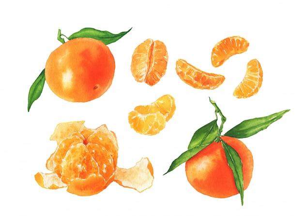 Mano dibuja mandarinas acuarelas con hojas verdes.