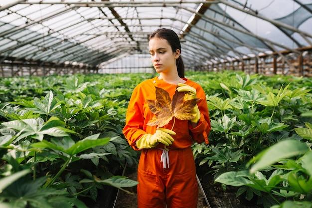 Mano femenina del jardinero con la hoja amarilla del japonica del fatsia que se coloca en invernadero