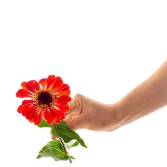 Una mano femenina que sostiene una flor floreciente del zinnia aislada como regalo y símbolo del concepto del amor