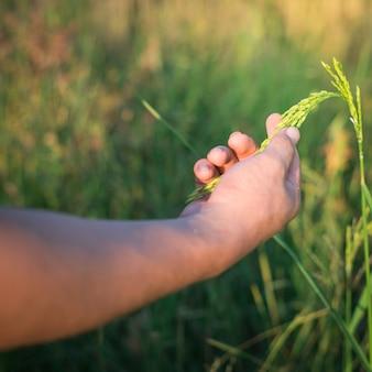 Mano del granjero que sostiene suavemente el arroz con luz del sol en el campo de arroz, agricultura