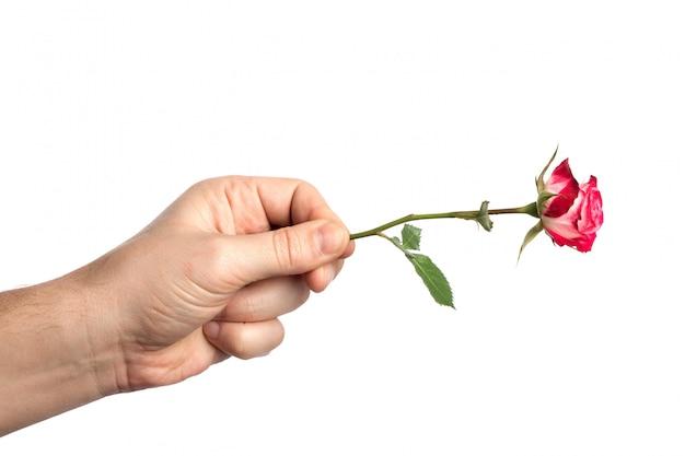 La mano del hombre con una rosa rosa sobre fondo blanco.