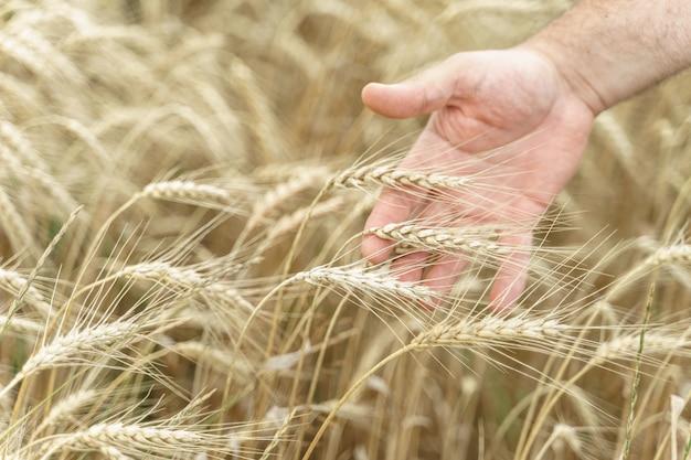 La mano de un hombre sostiene espigas de trigo maduro en un campo agrícola.