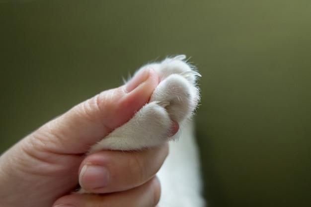 La mano humana atrapa la pata del gato antes de cortarle la uña.