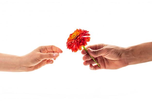 Una mano masculina sosteniendo y dando una flor de zinnia floreciente a una mujer aislada