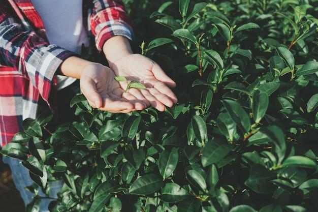Mano de mujer asiática recogiendo las hojas de té de la plantación de té, los nuevos brotes