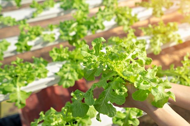 Mano mujer de hortalizas orgánicas que se cosechan en granjas hidropónicas.
