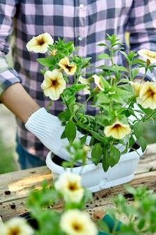 Mano de mujer plantando flores petunia, jardinero con macetas herramientas.