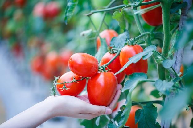 Mano de mujer recogiendo tomates rojos maduros en granja de la casa verde