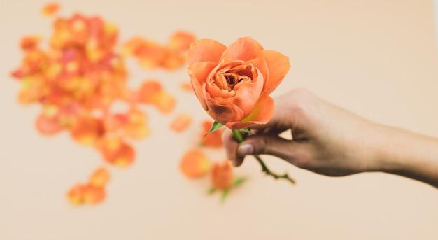 La mano de una mujer con una rosa naranja sobre un fondo de pétalos de rosa. concepto de primavera. copia espacio
