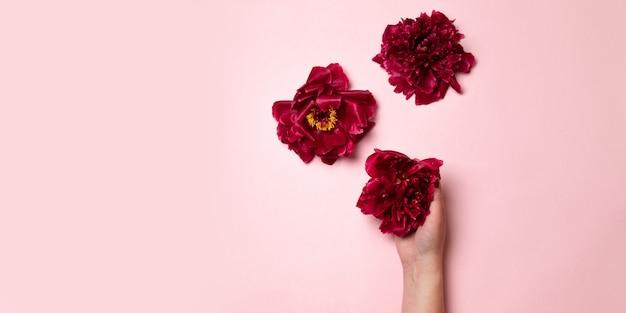 La mano de una mujer sostiene una flor de peonía burdeos sobre un fondo rosa. composición creativa mínima