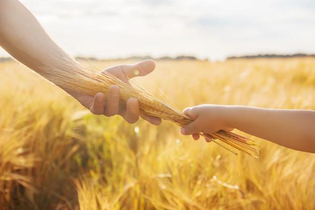 La mano del niño y el padre en el campo de trigo.