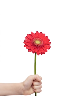 Mano del niño que sostiene una flor de los gerberas aislada en el fondo blanco. concepto de día de moters.