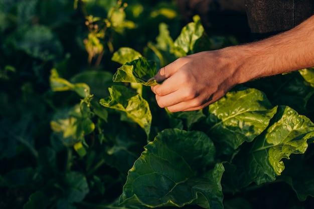 La mano del primer del agrónomo en un campo considera y toca una planta.