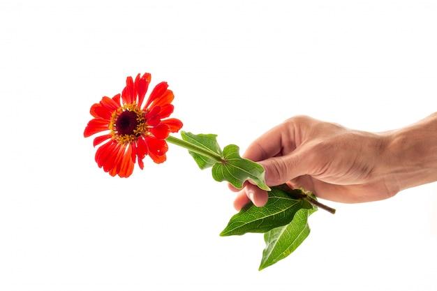 Una mano que sostiene una flor floreciente del zinnia como regalo y símbolo del concepto del amor aislado