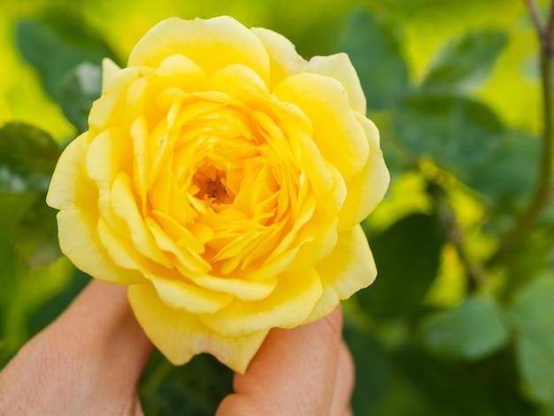 Mano que sostiene la hermosa rosa de primavera