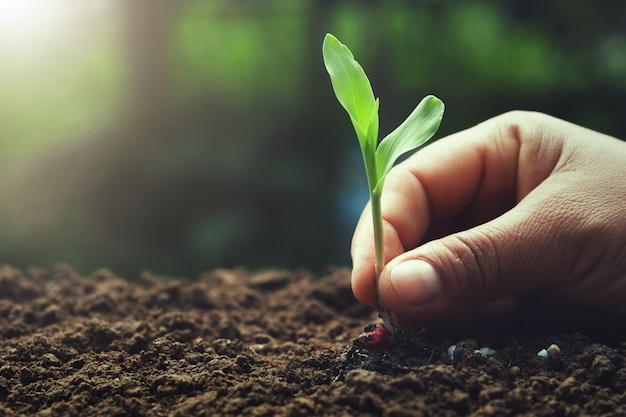 Mano que sostiene el maíz joven para plantar en jardín