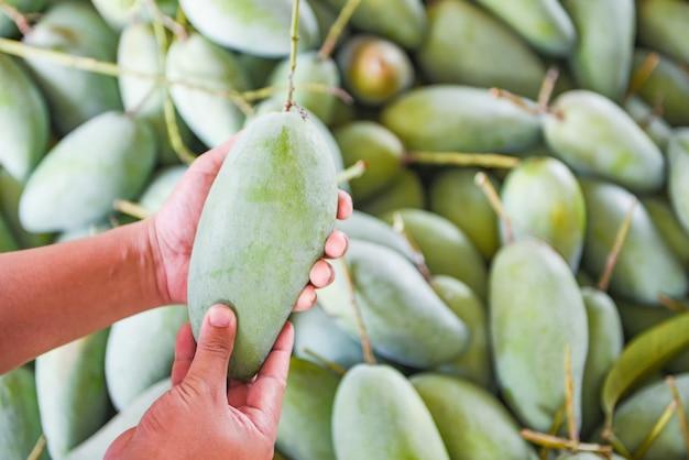 Mano que sostiene el mango verde para la venta y compra en el mercado de frutas en tailandia - cosecha de mango crudo fresco de la agricultura de árboles asiático