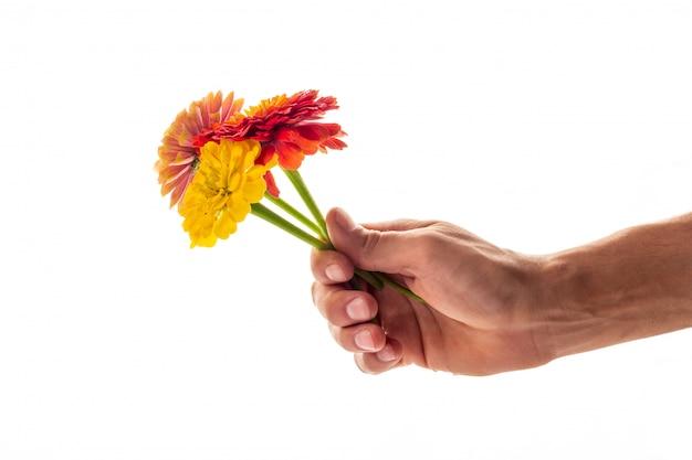 Una mano que sostiene tres flores florecientes del zinnia como regalo y símbolo del concepto del amor aislado