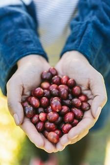 Mano recoger bayas maduras de café arábica rojo en las manos